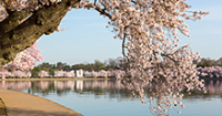 Cherry blossom festivals unfurl fragrant tidings for spring